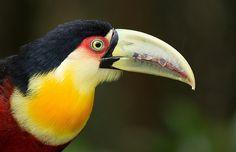 Foto tucano-de-bico-verde (Ramphastos dicolorus) por Luciano Bernardes   Wiki Aves - A Enciclopédia das Aves do Brasil