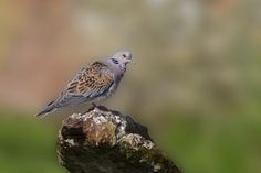 Turtle Dove - Turtle Dove standing on old iron