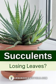 Do you know why your succulent leaves are falling? In this post, we discuss the reasons why your succulent leaves are falling off. We also discuss how to prevent succulent leaves from falling off. Finally, we talk about how to revive your dying succulent plants. #Succulents #Plants #IndoorGarden #Gardening #UrbanOrganicYield How To Water Succulents, Succulent Soil, Planting Succulents, Drought Tolerant Plants, Types Of Soil, Air Plants, Indoor Garden, Garden Ideas, Herbs