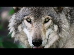 Over the past two decades, the federal government has worked to protect and promote the grey wolf in the American West, bringing them back from the brink of extinction. Officially off the endangered species list in grey wolves are threatened again. Nothing Matters, Rural Area, Animal Cruelty, Fauna, Husky, Wildlife, Images, Creatures, Action