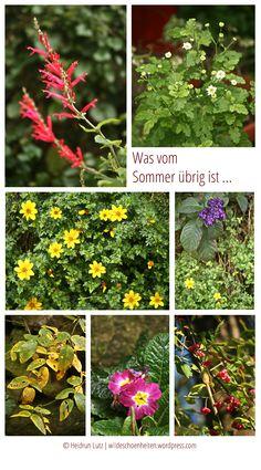 letztes Bunt, was vom Sommer übrig ist: Ananassalbei, Mutterkraut, Primel, Pfaffenhütchen ...