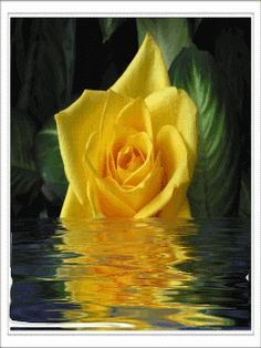 Hd yellow rose mobile phone wallpapers