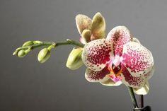 Comment faire refleurir une orchidée, toutes les astuces !Entretenir une orchidée