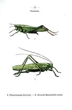 vintage botanical prints grasshopper - Google Search