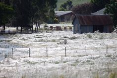 That's not snow. That's all spider webs from thousands of spiders in Wagga Wagga in Australia!