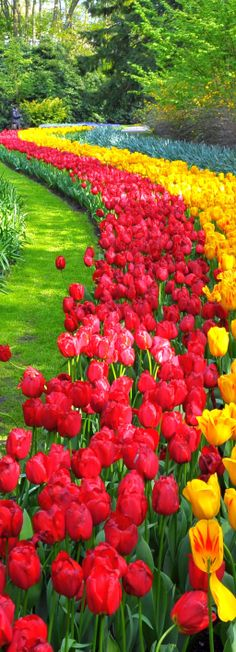 #Holland - A Land of #Colour in the #Spring! #Tulips