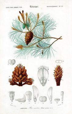 AUTHENTIC LITHOGRAPH Maritim Pine Cluster Pine This print is taken from the Dictionnaire Universel d'Histoire Naturelle a publication directed by the frenc. Vintage Botanical Prints, Botanical Drawings, Antique Prints, Botanical Art, Illustration Botanique, Illustration Blume, Pine Cone Drawing, Carrion Flower, Impressions Botaniques