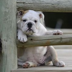 An adorable lazy-day Bulldog Bulldog Puppies, Cute Puppies, Cute Dogs, Dogs And Puppies, Doggies, Chihuahua Dogs, Animals And Pets, Baby Animals, Funny Animals