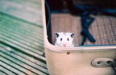 Hamster in a suitcase.