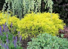 Gold Thread Cypress is a favorite among landscapers for a reason. It does a lot of work, and asks nothing in return. Evergreen, and a great foundation shrub, it is a slow grower, requiring little to no pruning. It tolerates heat and drought well, and rewards you all year long with eye-catching, weeping gold foliage.