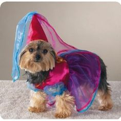 On pinterest pet costumes teacup poodles and teacup poodle puppies