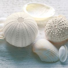 Urchins & Sea Shells