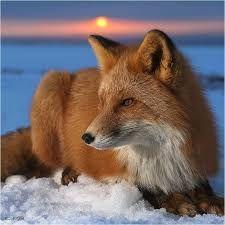 """Résultat de recherche d'images pour """"renard roux"""""""