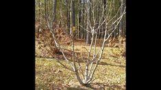 Fig Tree Pruning