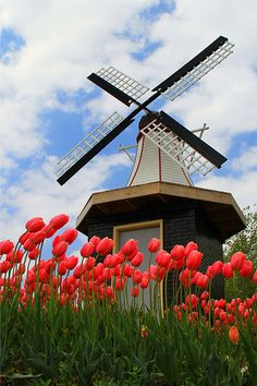 spring tulips and windmill, city park, Holland, MIchigan
