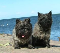 Image result for cairn terriers of duke of windsor