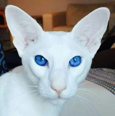 Newest Photo cat breeds oriental Suggestions Cats and kittens together with huge head may always be probably the most lovable beings in the world. Puppies And Kitties, Kittens Cutest, Cats And Kittens, Pretty Cats, Beautiful Cats, Animals Beautiful, Beautiful Pictures, Animals And Pets, Baby Animals
