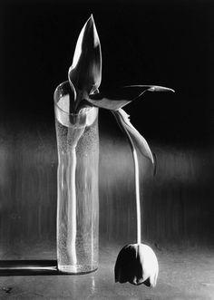 André Kertész. Melancholic tulip. New York City. 1939 [::SemAp Twitter || SemAp::]