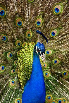 India-Blue Peacock [Pavo cristatus] at the Los Angeles Arboretum, LA, CA