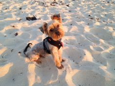 First visit to the dog beach at North Cottesloe, already loving the smells and the feel of the sand!