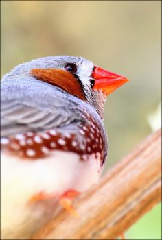 Zebra finch. by Evey-Eyes.deviantart.com on @deviantART
