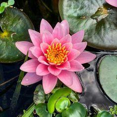 Ботанический сад | Аптекарский огород | ВКонтакте  Нимфеи в бассейне с осетрятами и плавучими фикусами #бонсай в #Аптекарскийогород - одна прекраснее другой, и все искрятся под лучами солнышка😍