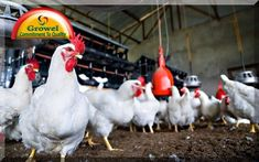 Vitamins and Minerals for Layer Poultry Poultry Layer Farming Management should best possible for better profitability,better eggs quality and better poultry health. Mineral Chart, Multivitamin Supplements, Vitamins And Minerals, Layers, Health, Poultry Farming, Bird Logos, Raising Chickens, Terra