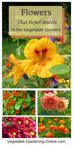 Add beauty to your garden while providing organic pest control! Geraniums, chrysanthemums,dahlias, marigolds and nasturtiums are all beneficial companion plants in a vegetable garden.