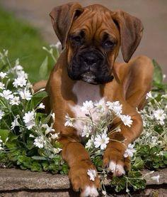 Pretty #Boxer baby