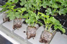 Rozmnožování muškátů podzimním řízkováním se hodí pro ty, kteří mají problém s… Kitchen Garden, Propagating Plants, Garden Containers, Plants, Flora, Hydrangea, Flowers, Herbs, Garden