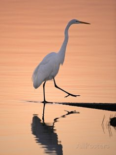 A Great White Egret, Ardea Alba, Stepping onto Shoreline Photographic Print by Robbie George at AllPosters.com