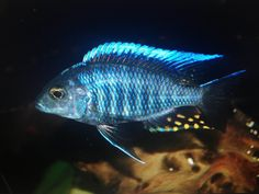 15 Best Lake Malawi Peacock Cichlids Images African