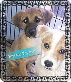San Bernardino, CA - German Shepherd Dog/Australian Cattle Dog Mix. Meet Boo Boo Bear, a dog for adoption. http://www.adoptapet.com/pet/16269867-san-bernardino-california-german-shepherd-dog-mix