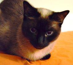 My Siamese cat Sasha. A rescue from the Siamese Cat Rescue Center.