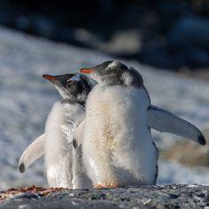 Gentoo Penguins @ Petermann Island, Antarctica