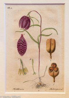 Kuvassa kasvi Kirjopikarililja.  Alkuperäinen gravyyri vuodelta 1804. Käsinväritetty.  Kuvat ovat kirjasta: Deutschlands Flora in Abbildungen Nach der Natur. Jacob Sturm, Nuremberg