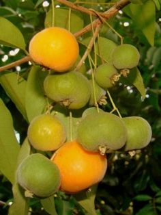 "Uvalha is a small tree native to Brazil. The fruit is of yellow-orange colour 1""-2"" diameter, quite aromatic and has a sweet but tart flavour"