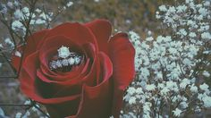 Rustic. Red rose and babys breath. Engagement ring picture.