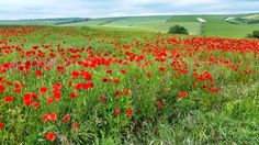 Poppy Field, South Downs, Sussex