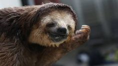 Monique Pool came to the rescue of the sloths when their habitat was marked for destruction —but she never expected to find so many.