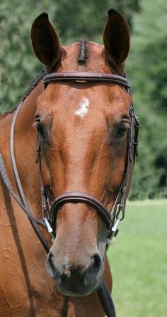 Piccadilly Hunter Bridle