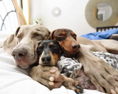 Harlow the Weimaraner and friends