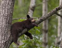 Brown-colored Black Bear cub sleeping in a tree.  Mom, also a brown-colored black bear, had previously treed her two cubs - this sleeping beauty and another brown-colored cub.  When the mother huffed for the cubs to come down, his sibling climbed down from the tree to join Mom.  This one, however, continued to snooze.  When he woke up and discovered Mom wasn't around, this cub started to cry.  Mom heard him and came back for the little guy.  Northern Minnesota.