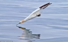 The gannet is pictured just milliseconds before it hits the water. Photographer Steve Ward...