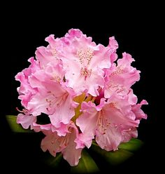 Rhododendron - state flower of Washington state