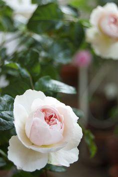 'Sharifa Asma' | Shrub. English Rose Collection. David C. H. Austin, 1989 | Flickr - © hanapapa