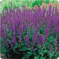 Salvia nemorosa May Night Purple Plants, Purple Flowers, Purple Garden, Garden Plants, House Plants, Meadow Sage, Geranium Rozanne, Alchemilla Mollis, Outdoor Nursery