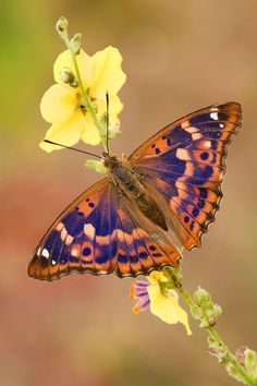 Lesser Purple Emperor Butterfly (Apatura ilia) indigenous to asia and europe