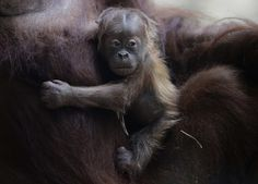 This Baby Orangutan Will Make You Miss Your Mom