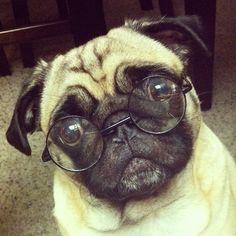 intellectual pug